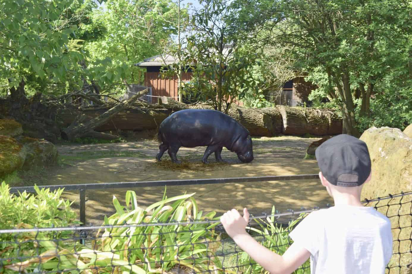 B looking at a Hippo at London Zoo