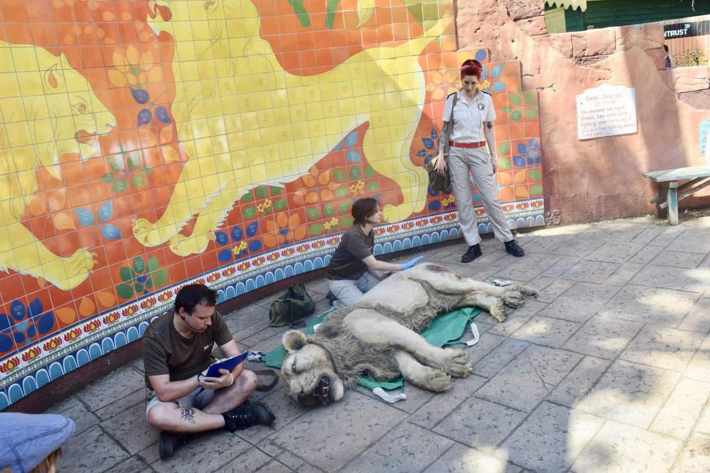Live re - enactment of a Lion being cared for by zoo keepers
