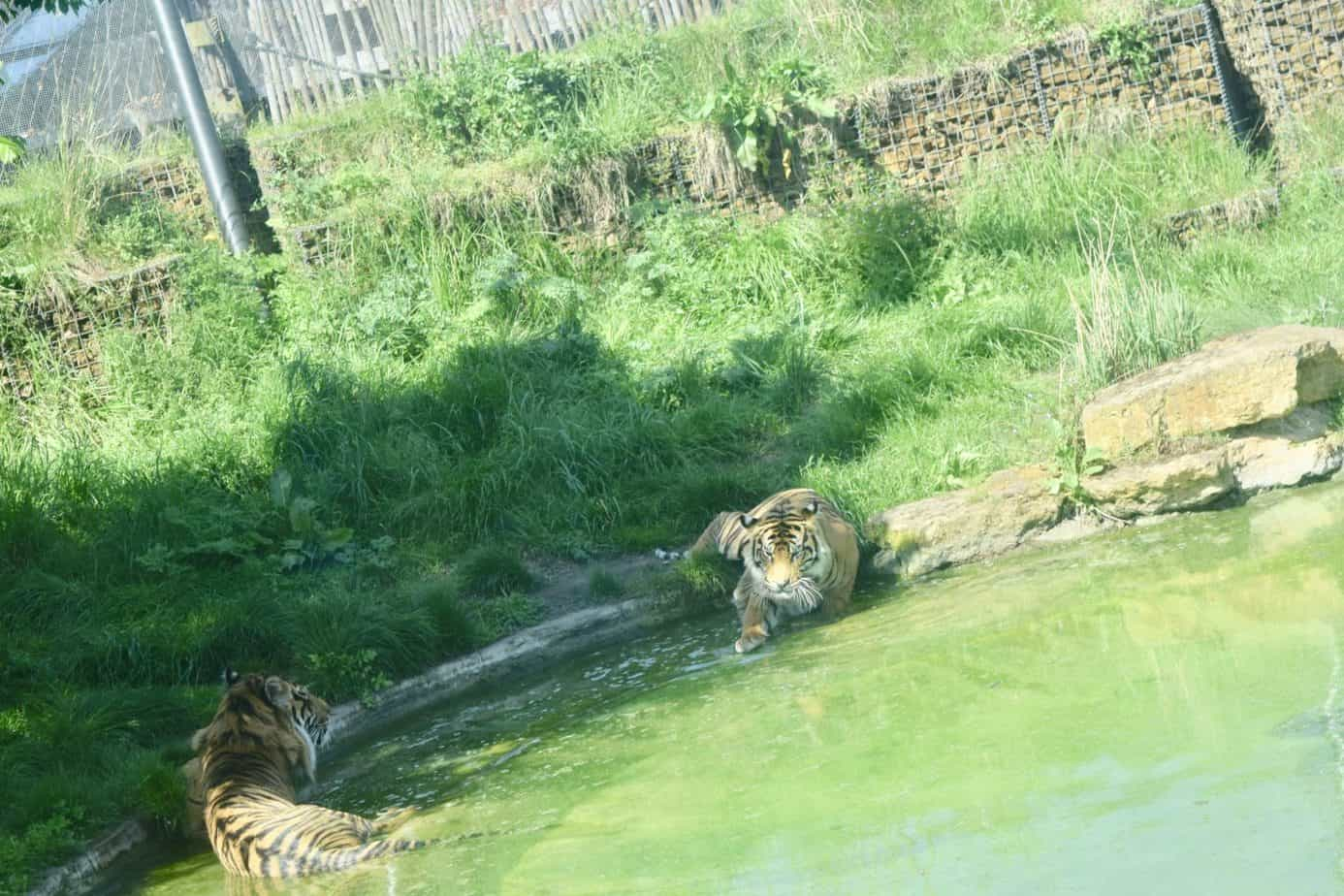 See the Tigers wading in their lake