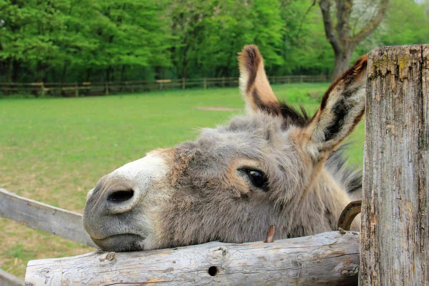 A close up of a donkey at the donkey sanctuary