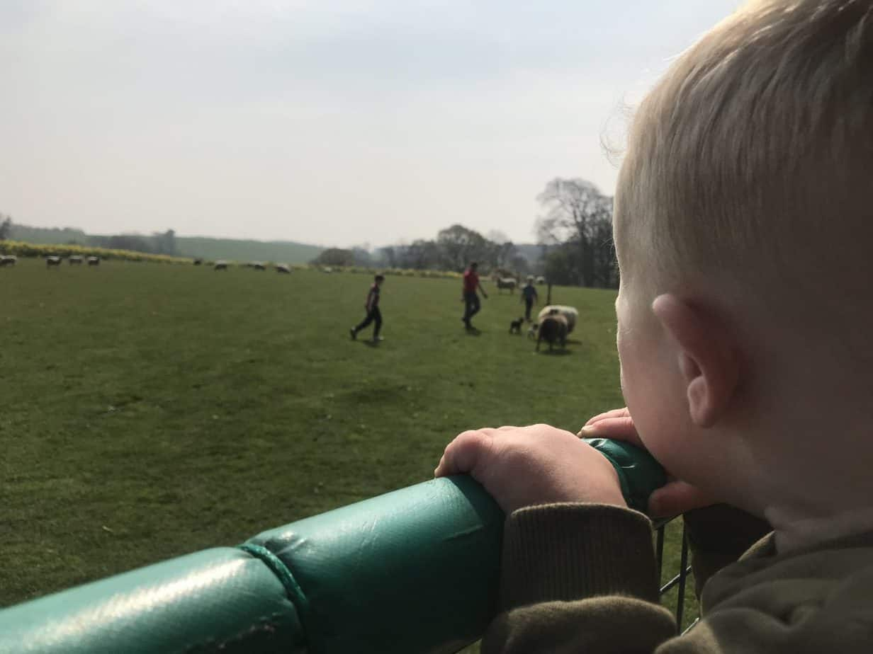 Baby K looking at the freshly born lambs at Hatton Adventure World during our Tractor Ride