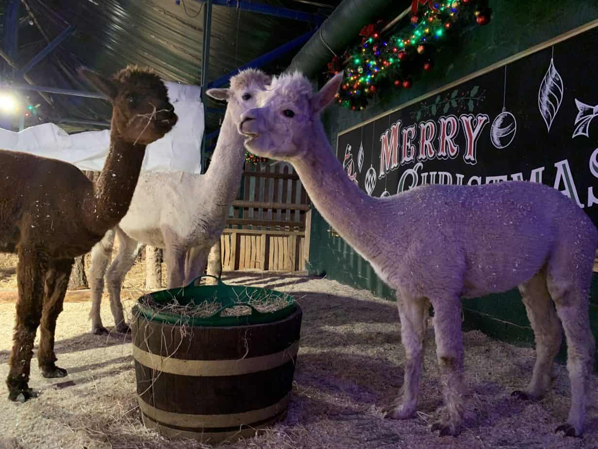 Alpacas at Santas winter wonderland Christmas Village SnowDome
